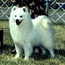 american eskimo dog yahoo wright u0027s american eskimos american eskimo dogs and puppies