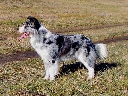 australian shepherd b c border collie szuka 2