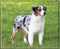 south dakota australian shepherd miniature american shepherd puppies and dogs for sale
