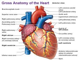 Study Anatomy And Physiology Online Gross Anatomy Of The Human Heart Online Human Anatomy Course Www