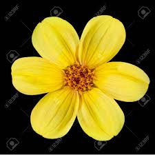 fresh petals six fresh petals of beautiful yellow dahlia flower isolated on