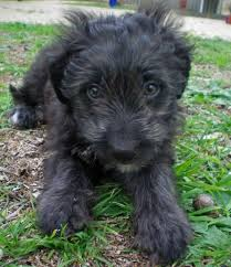 bearded collie and border collie mix border collie labradoodle mix puppy pinterest collie and dog