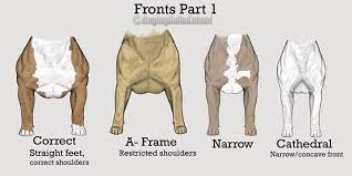 american pitbull terrier size chart american bully faults conformation