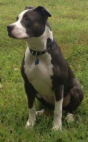 american pitbull terrier figurines american pit bull terrier dog breed pictures 3