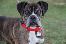 boxer dog for adoption view ad boxer dog for adoption arizona phoenix usa