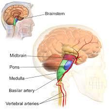 Image Of Brain Anatomy The Brain Stem Boundless Anatomy And Physiology