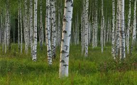 free birch tree wallpaper 6903675