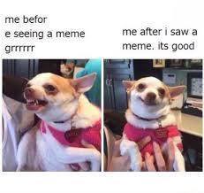 Meme Chihuahua - spicy chihuahua dankmemes