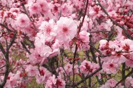 Trees With Pink Flowers Homelife 11 Best Spring Flowers