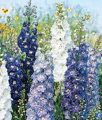 delphinium flower fantasia mixed colors delphinium seeds and plants perennnial
