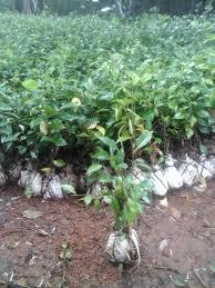 Teh Tehan tukang pohon pagar teh tehan jual tanaman pagar citra taman