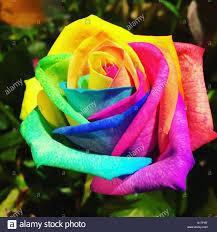 multi colored roses beautiful multi coloured stock photo 310567204 alamy