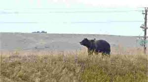 Bears Montana Hunting And Fishing - montana only state without grizzly hunting plan this year