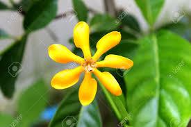 Gardenia Flower Yellow Gardenia Flower Gardenia Carinata Wallich Stock Photo