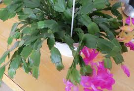thanksgiving cactus the green thumb 2 0