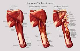 Shoulder And Arm Muscles Anatomy Human Anatomy Anatomy Of The Posterior Arm Musculature