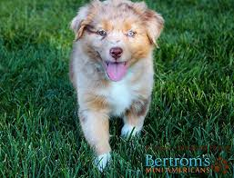 a mini australian shepherd about breeder mini american shepherd puppies for sale australian