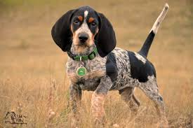 bluetick coonhound name origin bluetick coonhound history personality appearance health and