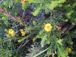 native tasmanian plants australian plants society tasmania inc places northwest u0026 west