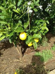 backyard fruits and berries pete u0027s backyard farm