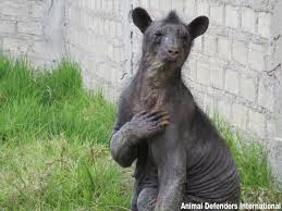 Hairless Bear Meme - list of synonyms and antonyms of the word hairless bear