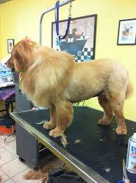 golden retriever haircut styles google search pictures