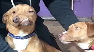 american pitbull terrier jaw dog with deformed jaw needs forever home asap