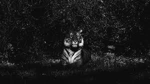 tiger black and white photography wallpaper wallpaper studio 10