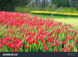 beautiful tulip field spring finland stock photo 390222199