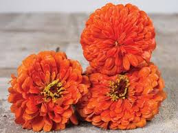 Zinnias Flowers Orange King Zinnia Flower Seeds Baker Creek Heirloom Seeds
