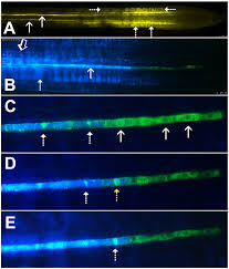 phloem unloading in arabidopsis roots is convective and regulated