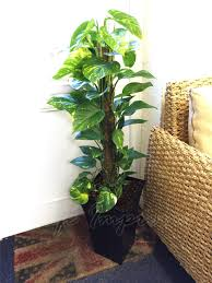 indoor palm 1 large indoor office house tree milano gloss pot palm dracaena