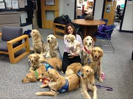 Comfort Golden Harper College Pairs Up With Comfort Dogs To Train Handlers