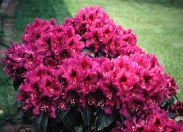 Pink Spring Flowering Shrubs - shrubs by flowering season and height