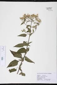 native plants fort myers chromolaena odorata species page isb atlas of florida plants