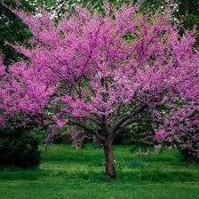 best 25 eastern redbud tree ideas on eastern redbud