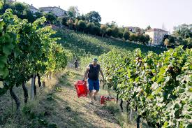 in italy u0027s drought hit vineyards the harvest of a changing