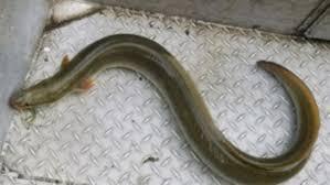 Seeking Eel Eel Usually Found In Atlantic In Southwest
