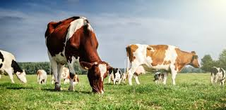 to reduce greenhouse gases from cows and sheep we need to look at