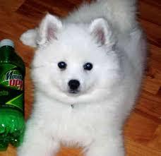 american eskimo dog energy level miniature american eskimo dog