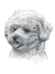 bichon frise dog pictures bichon frise