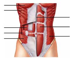 Anatomy And Physiology Muscle Labeling Exercises Abdominal Muscles
