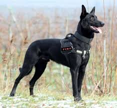 belgian shepherd breeds best 25 black belgian malinois ideas on pinterest belgian