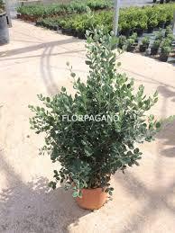 buxus sempervirens in vaso metrosideros excelsa diam 28 vivaio outdoor plants florpagano