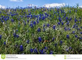 a beautiful texas roadside full of bluebonnets and a few indian