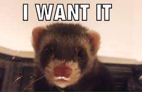 Ferret Meme - more ferret memes album on imgur