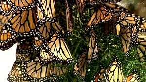 monarch butterfly video compilation for kids youtube