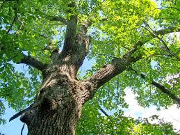 joshu s oak tree moosis ecospiritual journeys