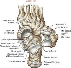 Foot Surface Anatomy Ankle And Foot Clinical Gate