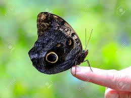 big butterfly on finger florida usa stock photo picture and